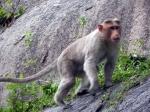 Territorial Monkey