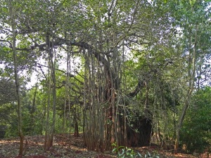 Banyan Tree by Biggie's House