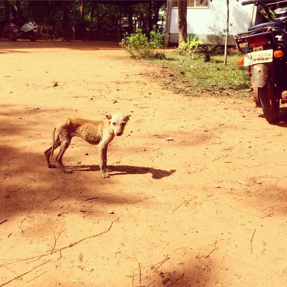 This little guy has been spotted in several areas of Auroville, emaciated and starving.
